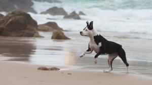 Detenido el proceso de confiscación y eutanasia de perros Pitbull