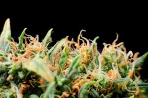 ASSMCA publica mitos y realidades de la marihuana