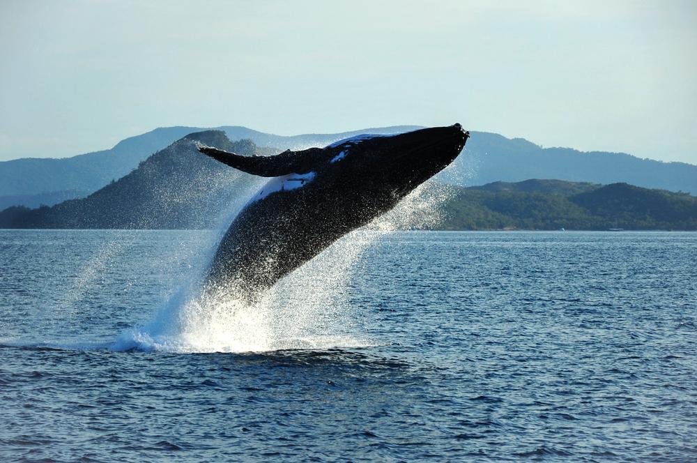 Ballenas jorobadas salen de lista federal de especies en peligro de extinción