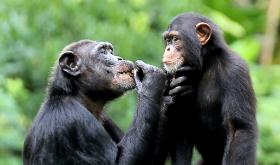 Tribunal celebrará argumentación oral sobre habeas corpus a favor de chimpancés