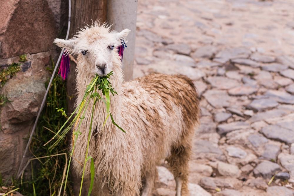 Bolivia aprueba ley que permite sacrificar animales para fines religiosos