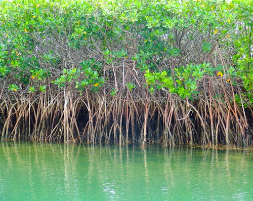 Ordenan cesa y desista, restauración y multas por violaciones ambientales en manglar de Salinas