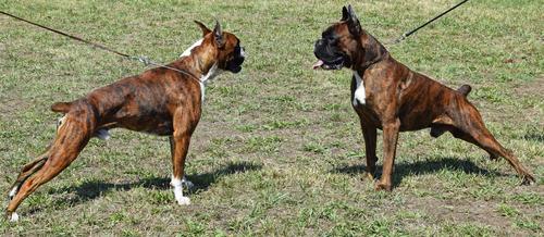 Fiscalía Federal anuncia primer caso en Puerto Rico por creación y distribución de videos de peleas entre perros