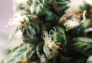 Exclusión de la marihuana del Programa de Pruebas de Detección de Sustancias Controladas