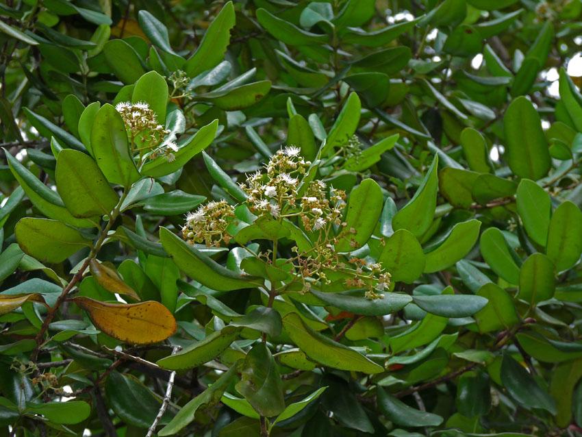 Agricultura pide derogar ley 18 cuyo objetivo es la protección de árboles de malagueta