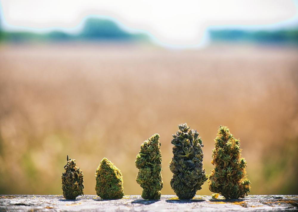 Recinto de Ciencias Médicas no favorece uso de la flor del cannabis