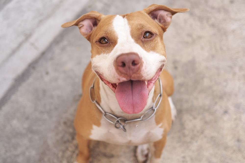 Senado aprueba medida que da luz verde a perros Pitbull