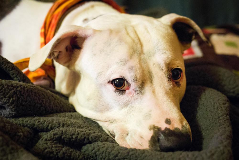 Firman ley que elimina prohibición a introducción, importación, posesión, adquisición, crianza, venta y traspaso de los perros pitbull