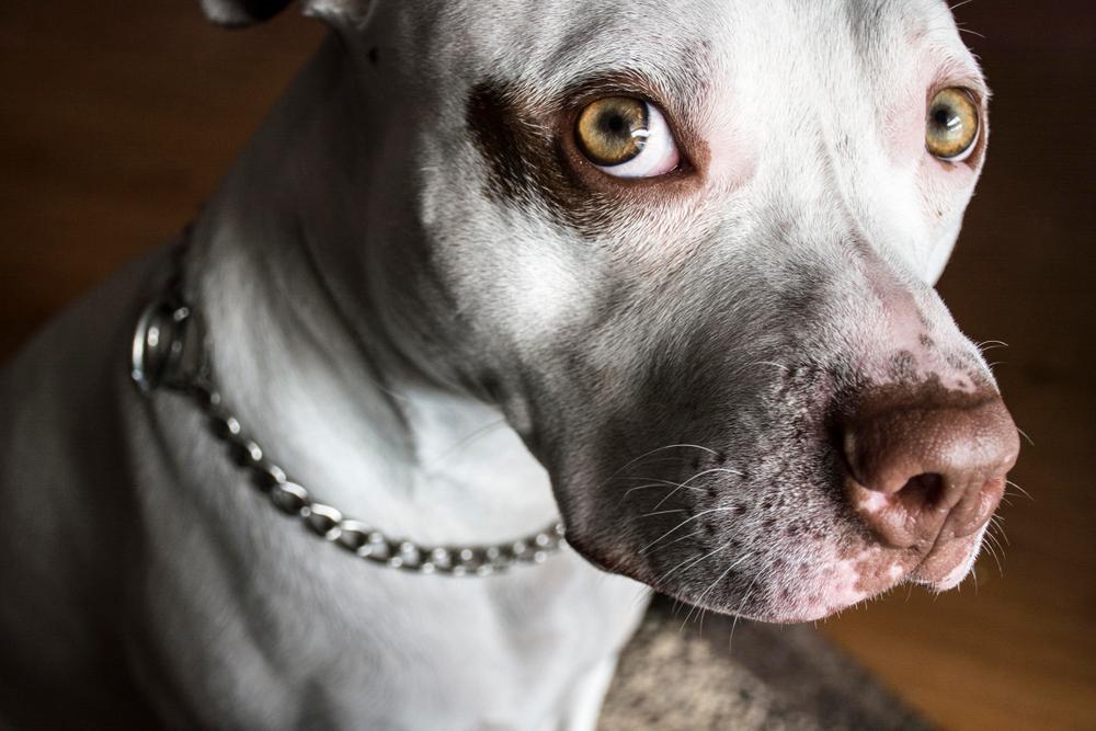 Los perros pitbull y la propuesta revisión del Código Civil