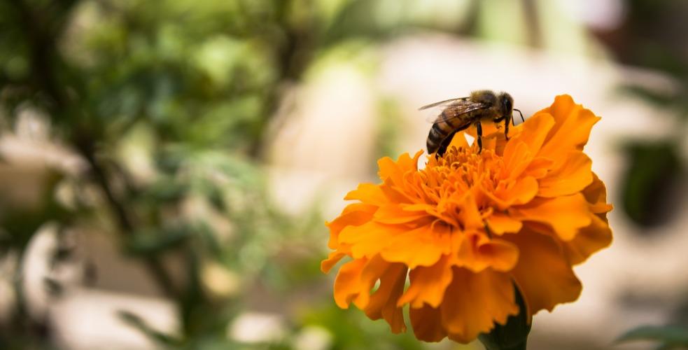 Senado aprueba medida que defiende la abeja puertorriqueña